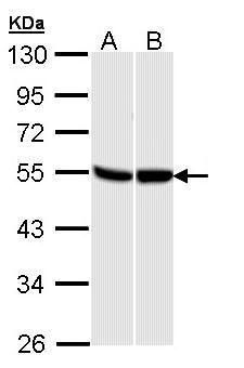 GPR87 Antibody (PA5-28751)