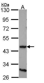 DRD4 Antibody (PA5-28756) in Western Blot
