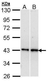 beta-3 Adrenergic Receptor Antibody (PA5-28763) in Western Blot
