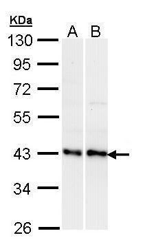 EDG2 Antibody (PA5-28768)