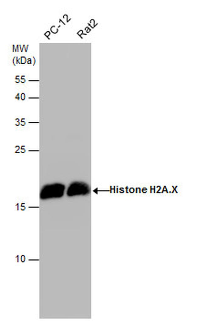 Histone H2A.X Antibody (PA5-28778) in Western Blot