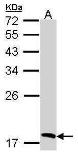 Flavin reductase Antibody (PA5-28782) in Western Blot