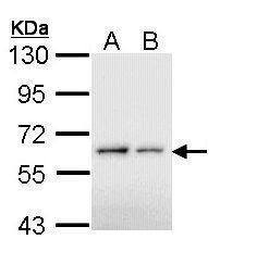 Bcl-3 Antibody (PA5-28783) in Western Blot