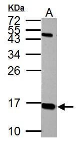 Histone H2A.X Antibody (PA5-28785) in Western Blot