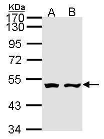 Adenylate Kinase 9 Antibody (PA5-28790)