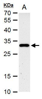 HES1 Antibody (PA5-28802) in Western Blot