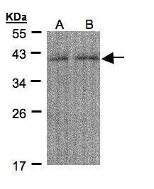 REXO4 Antibody (PA5-28807) in Western Blot