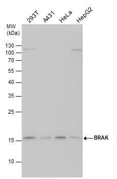CXCL14 Antibody (PA5-28820) in Western Blot