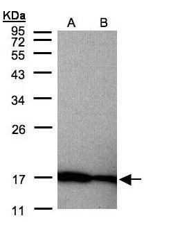 Midkine Antibody (PA5-28823) in Western Blot