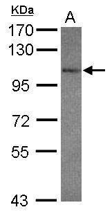GluR7 Antibody (PA5-28833)