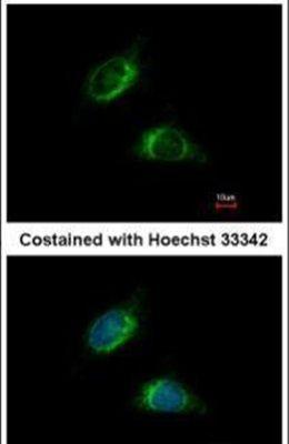 OLFM1 Antibody (PA5-28842) in Immunofluorescence