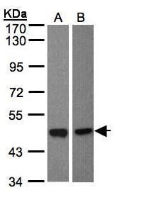 BMP-8A Antibody (PA5-28849) in Western Blot