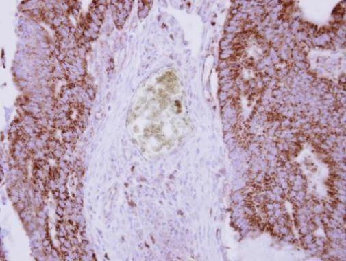 Cytochrome C Antibody (PA5-28856) in Immunohistochemistry (Paraffin)