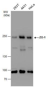 ZO-1 Antibody (PA5-28858) in Western Blot