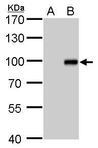 KLF10 Antibody (PA5-28873)