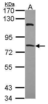 RFX4 Antibody (PA5-28877) in Western Blot