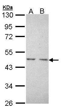 TR2 Antibody (PA5-28882) in Western Blot