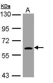 TrxR1 Antibody (PA5-28886) in Western Blot