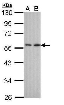 DPP2 Antibody (PA5-28888)