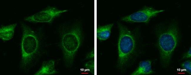 MINK1 Antibody (PA5-28901)