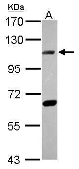DNA ligase IV Antibody (PA5-28903) in Western Blot
