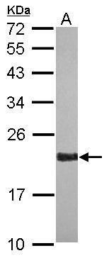 RAP2A Antibody (PA5-28905) in Western Blot