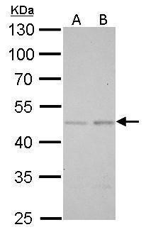 SMAD5 Antibody (PA5-28915)