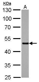 SMAD5 Antibody (PA5-28915) in Western Blot