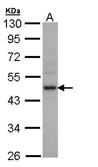 Creatine Kinase MB Antibody (PA5-28920) in Western Blot