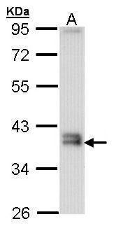 GGH Antibody (PA5-28941) in Western Blot