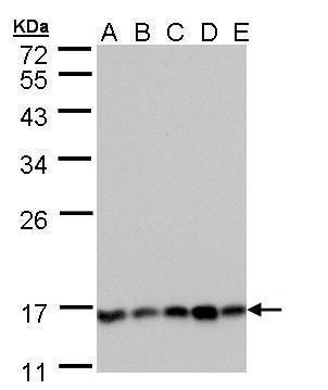 Calcineurin B Antibody (PA5-28943) in Western Blot