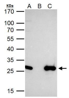 EN2 Antibody (PA5-28953) in Immunoprecipitation