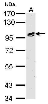 OSR1 Antibody (PA5-28962)