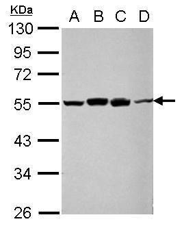RUVBL1 Antibody (PA5-28986) in Western Blot