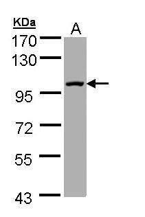 SEMA4A Antibody (PA5-28994) in Western Blot