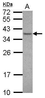 VAX1 Antibody (PA5-28995) in Western Blot