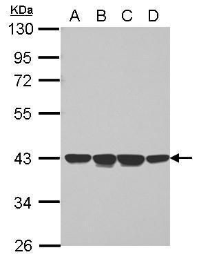 NCF4 Antibody (PA5-29000) in Western Blot