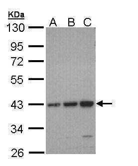 CCR6 Antibody (PA5-29015) in Western Blot