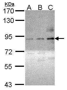 Phospho-PKC theta (Ser695) Antibody (PA5-29029) in Western Blot