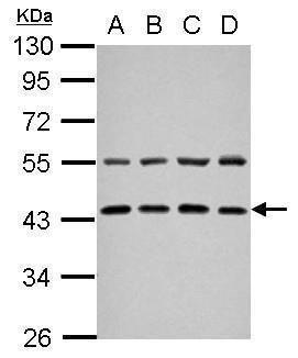 ZFYVE27 Antibody (PA5-29034) in Western Blot