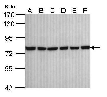 HSPA2 Antibody (PA5-29038) in Western Blot