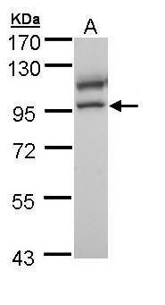 MCM4 Antibody (PA5-29039) in Western Blot