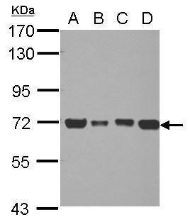 DLAT Antibody (PA5-29043) in Western Blot