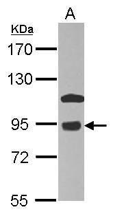 COG7 Antibody (PA5-29044) in Western Blot