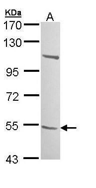 B3GALTL Antibody (PA5-29055) in Western Blot