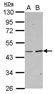 BAAT Antibody (PA5-29060) in Western Blot