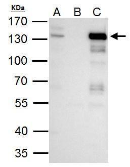 TTF2 Antibody (PA5-29065) in Immunoprecipitation
