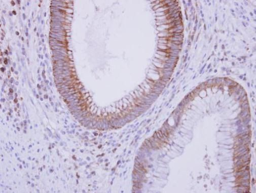Complement C9 Antibody (PA5-29066) in Immunohistochemistry (Paraffin)