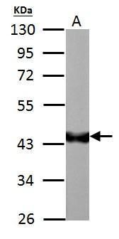 RBFOX1 Antibody (PA5-29074) in Western Blot