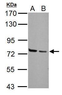 HSPA2 Antibody (PA5-29083) in Western Blot